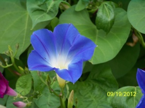 Close-up of a Morning Glory Bloom