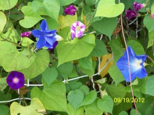 Oliver's Morning Glories